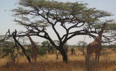 Žirafy v Samburu