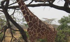 Žirafy v Samburu NP