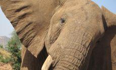 Přátelský slon v Samburu NP