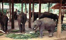 sloní sirotčinec v Pinnawela